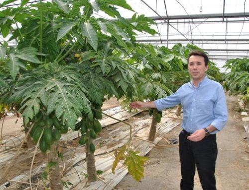 Grupo Durán ya es el mayor productor de papaya del continente europeo